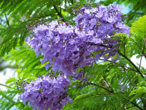 30 Jacaranda Mimosifolia Tree Seeds Mixed Blue Flowers Bonsai Plant Home Garden
