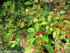 Olho de peixe Chili 10 semillas nuevas cosecha wildchili procedentes de brasil balcón tiesto