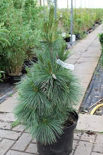 kompakte Schwerin-Kiefer schwachwachsend Pinus x schwerini Wiethorst 30-40
