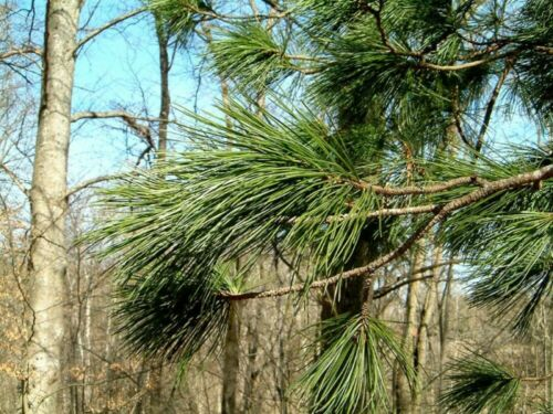 10 SEEDS SIBERIAN PINE Pinus Cembra Sibirica FREE S/&H