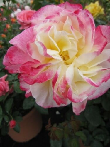 Teehybride Rosa Double Delight® rubinrot-cremewei Edelrose Double Delight®