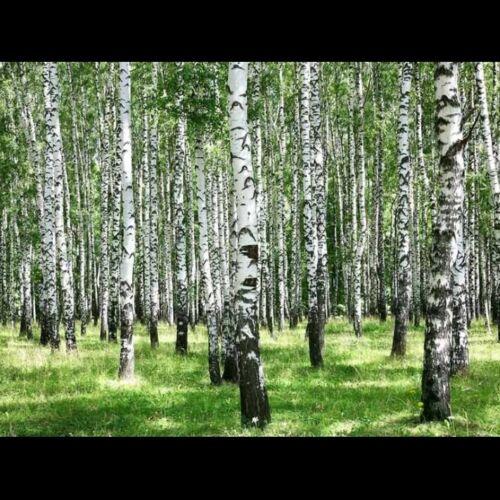 semi-Rapido 100 Piangendo Argento Betulla-Betula laxa