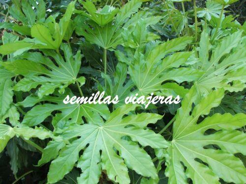seeds 40 semillas arbusto Japanese Aralia Fatsia Japonica samen graines