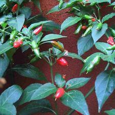 Malagueta Rosso Chilli dal Brasile Piri-piri chili molto duri
