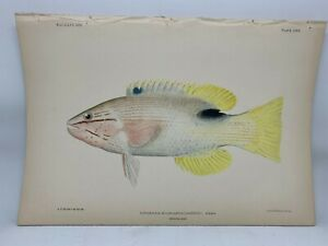 Antique-Lithographic-Print-Reef-Fishes-Hawaiian-Islands-Bien-1903-Plate-24