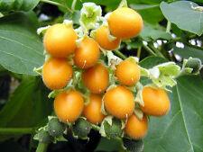 6 graines de MORELLE FAUX ABUTILON(Cyphomandra Abutiloides)H361 SEEDS SEMILLAS