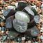 Haworthia-maughanii-Succulent-plants-potted-Plants-Home-Garden-Bonsai-Garden thumbnail 1