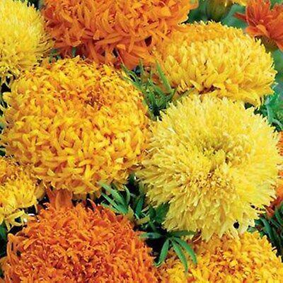 Flower seeds tagetes erecta FANTASY
