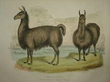 El alpacas de Buffon's Historia Natural. 1860 de Londres.