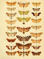 Impresión arte cartel Pintura científica Dibujo Insectos Mariposas Placa nofl1042