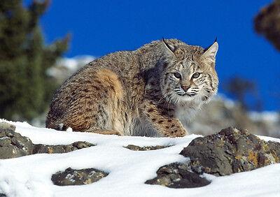 Cordiale Stickers Autocollant Poster A4 Animaux Sauvage . Les Felins Le Lynx .