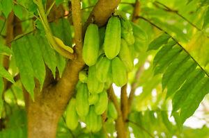 Garten-Blumen-Samen-Raritaet-seltene-Pflanzen-schnellwuechsig-GURKENBAUM