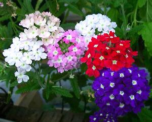 Verbena-Florist-Mix-200-SEEDS-Verbena-Hybrida-FLOWER