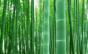 Giant Bamboo Seeds for Planting - 50+ Seeds - Grow Giant Bamboo, Privacy Screen