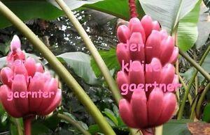 alles rosa leckere schnellwüchsige rosa Zwergbanane