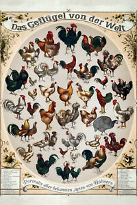 Le-la-Volaille-Poultry-Du-Monde-Panneau-Metallique-Plaque-en-Etain-20-X-30-CM