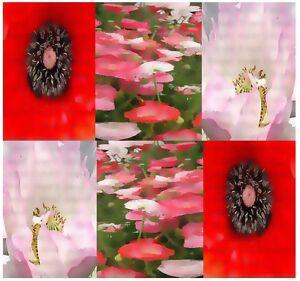 10000 Bulk Poppy Flower Seeds Red Mix Papaver Rhoeas Ebay
