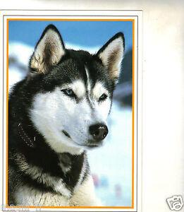Perro-Husky-H5379
