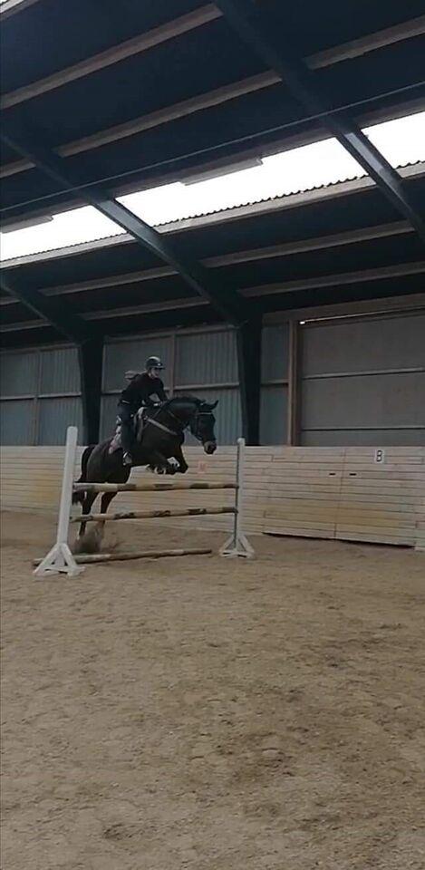 Hollandsk varmblod (KWPN/KNHS), hoppe, 9 år