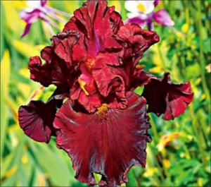 Unique Rouge 2 IRIS BULBES attrayant fleurs végétal naturel incroyable cadeaux Jardin