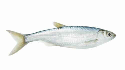 Köderfische 6Stk 10cm