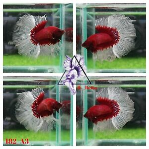 [182_A3]Live Betta Fish High Quality Male Fancy Over Halfmoon 📸Video Included📸