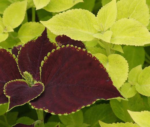 COLEUS FUSEABLES CHOCOLATE SYMPHONY Solenostemon Scutellarioides - 40 Bulk Seeds