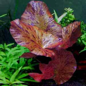 1 bulbes de tiger lotus  plante aquarium