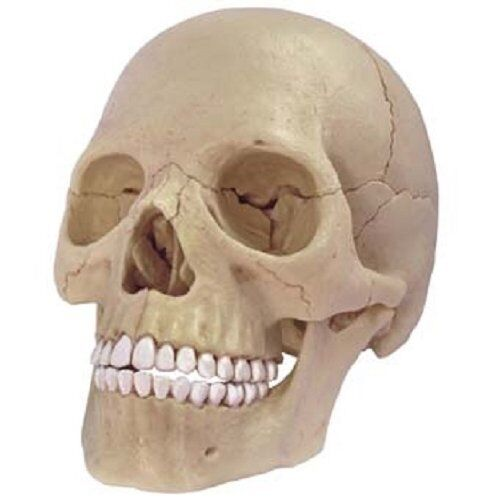 AOSHIMA 3D puzzle 4D VISION Human dissection No.23 1 2 Skull diss From japan