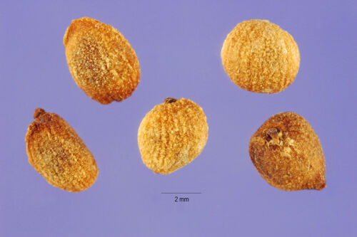 20 FRESH Calla Arum Lily Zantedeschia Aethiopica Seeds Heirloom White Variety