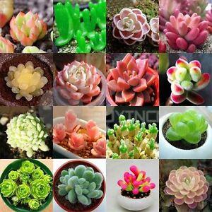 Echeveria-species-mix-10-50-100-seeds-succulent-cactus-rare-exotic-CombSH-C14