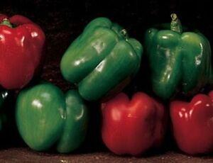 Heirloom-EMERALD-GIANT-Sweet-Bell-Pepper-35-Seeds-HEAVY-YIELDS