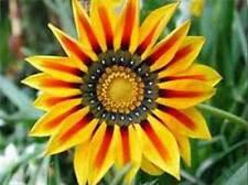 Chrysanthemum carinatum Painted Daisy 30 seeds