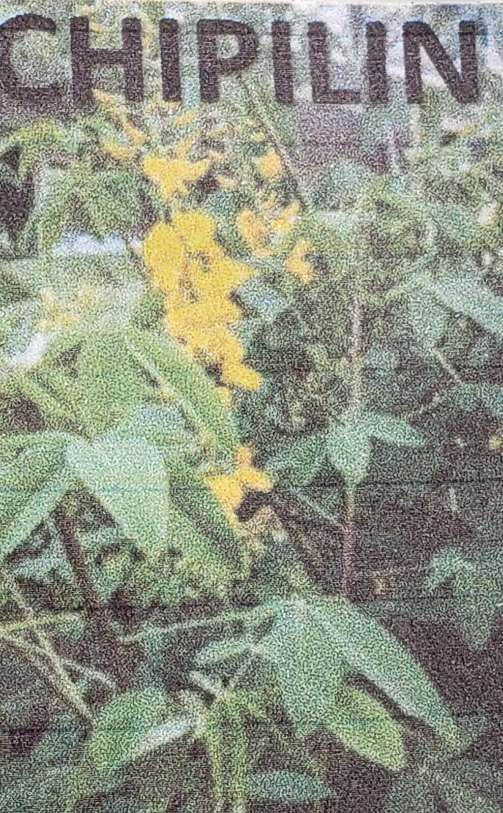 Chipilin Seeds, Guatemala Long Leaf, Organic, 100 Seeds!