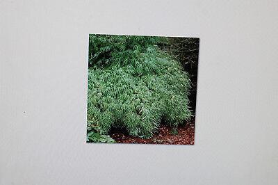 Bambus Fargesia fungosa KEINE RHIZOMSPERRE 50 Samen