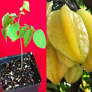 Star-Fruit-Averrhoa-Carambola-Bell-Seedling-Potted-Starfruit-Plant-Tree