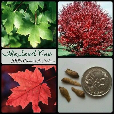 10 Red Maple Seeds Acer Rubrum Canadian October Glory Autumn Red