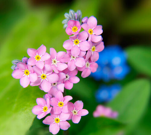 Myosotis alpestris ALPINE FORGET ME NOT MIX PERENNIAL FLOWER 2300 seeds