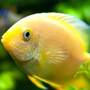 Live tropical aquarium fish for sale gold severum for Fish for sale online