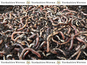 100g-WORMS-REPTILE-LIVEFOOD-amp-Soil-Improvement-BUY-MORE-THAN-1-PACK-SAVE-ON-POST