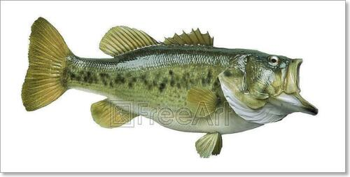 F Largemouth Bass Isolated On White Art Print Home Decor Wall Art Poster