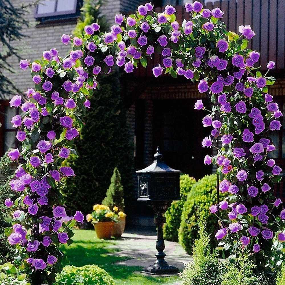 Purple Climbing Rose Seeds Flower Garden Plant Seedlings, (Buy 1 Get 1 15% Off)