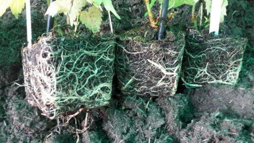 Singular Plant 8 to 9cm pots- all female Super Cascade Centennial Hop Plant
