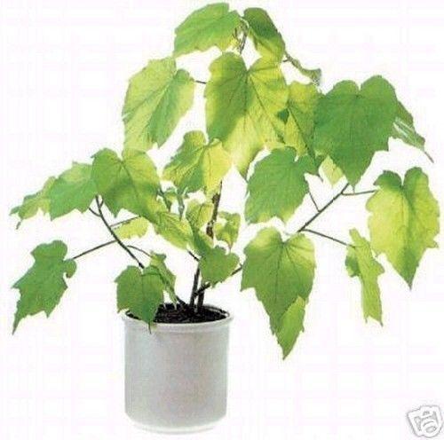Zimmerpflanze Zimmerlinde reinigt die Luft in der Wohnung