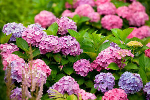 20-Hydrangea-Flower-Seeds-Mixed-Multicolored-Perennial-Plant-Bonsai-Home-Garden