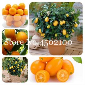 Details About 50 Pcs Seeds Fruit Trees Kumquat Bonsai Garden Orange Tangerine Dwarf Citrus New