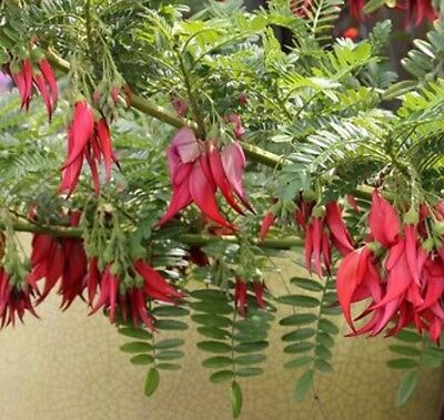 Clianthus Puniceus Red Kaka Beak Climber x7 seeds, Ex013