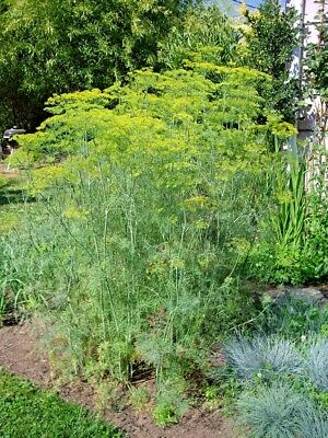 -UK Seller DILL MAMMOTH Seeds FREE P/&P Culinary// Pickling