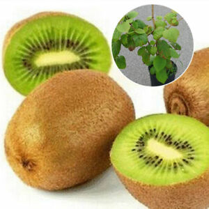 100pcs-KIWI-Seeds-Delicious-Healthy-Fruit-Actinidia-Vine-Seeds-Easy-to-Plant