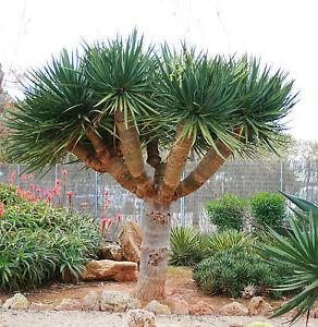 100 seeds of dragon tree dracaena draco blood flowers palm. Black Bedroom Furniture Sets. Home Design Ideas